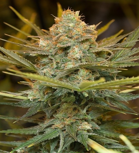 Three Blue Kings by HSO Seeds