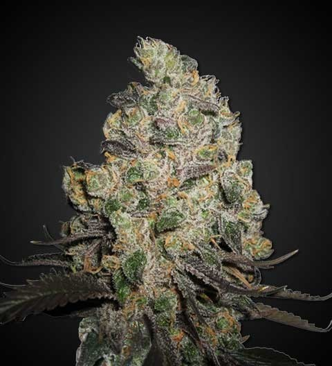 Blue Cheese Feminized