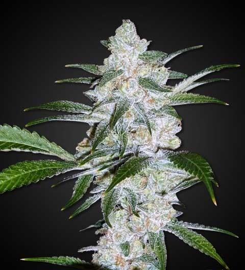 Bubblegum Marijuana