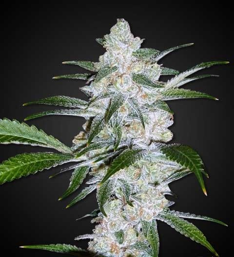 Bubblegum Feminized Marijuana