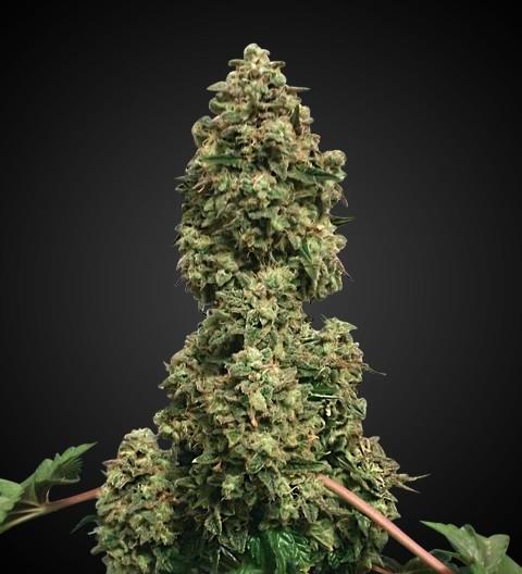 Bubble Kush Feminized Marijuana