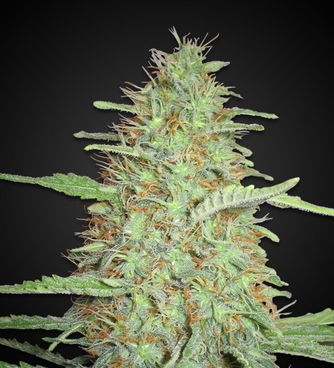 Cali Orange Bud feminized