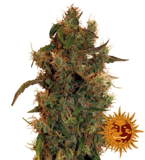 8 Ball Kush Feminized Marijuana Seeds