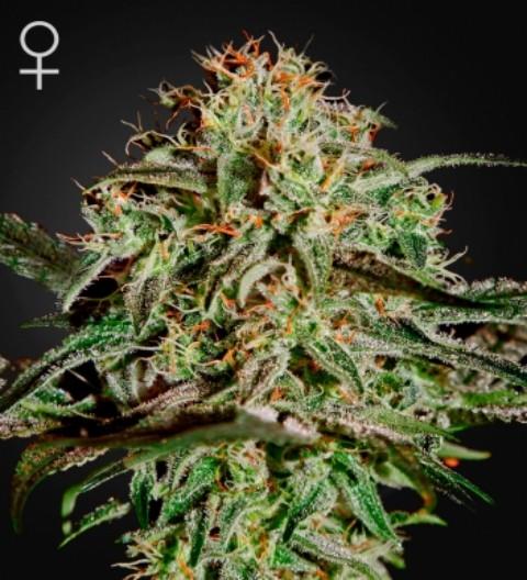 AMS Feminized marijuana seeds