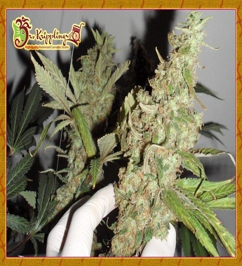 Afghan Cow by Dr Krippling Seeds