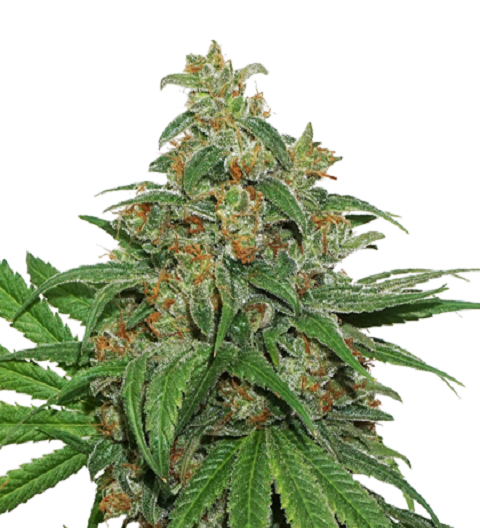 AK420 by Seed Stockers