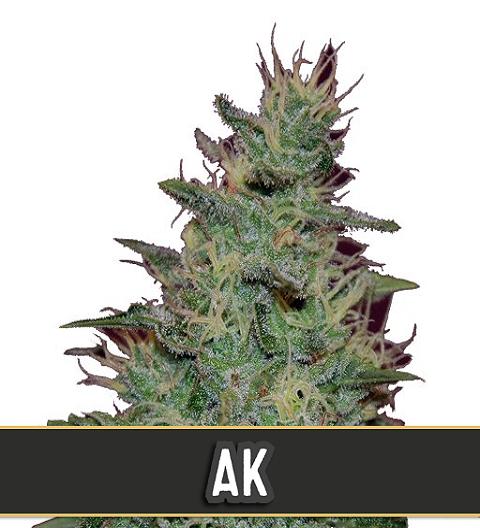 AK Automatic by Blim Burn Seeds