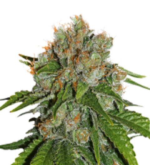 Amnesia by Seed Stockers