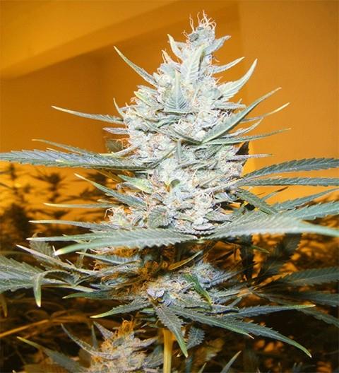 Amphetamine Auto by Cream of the Crop Seeds