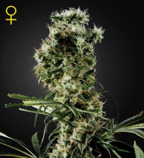 Arjan's Haze 2 Feminized Marijuana Seeds
