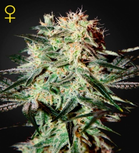 Arjan's Strawberry Haze Feminized Marijuana Seeds