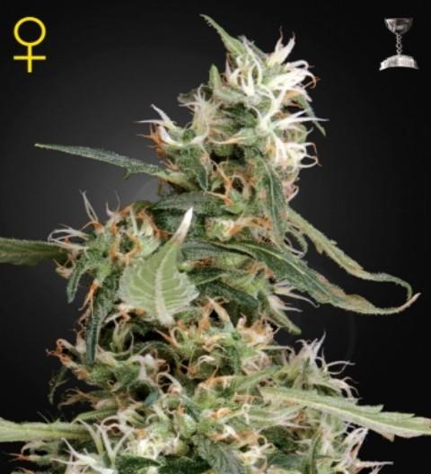 Arjan's Ultra Haze 1 Feminized marijuana seeds