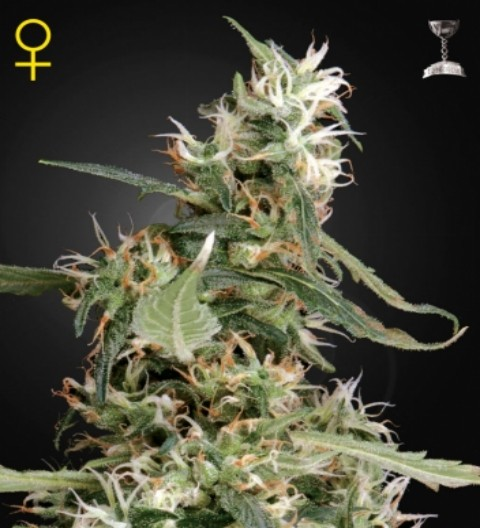 Arjan's Haze 1 Feminized Marijuana Seeds