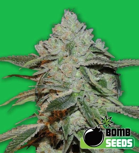 Atomic Feminized – Bomb Seeds