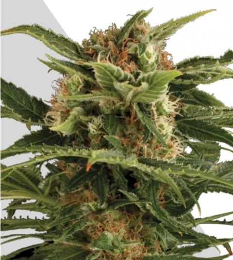 Auto Pounder Marijuana Seeds