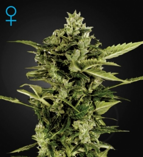 Auto Bomb Feminized Marijuana Seeds