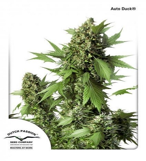 Auto Duck by DP Seeds