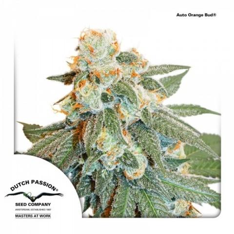 Auto Orange Bud by DP Seeds