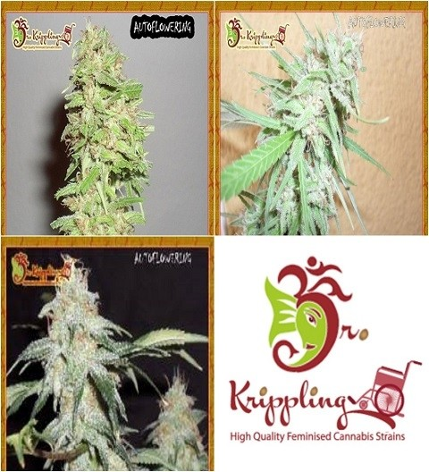 Auto Mix CDr by Dr Krippling Seeds