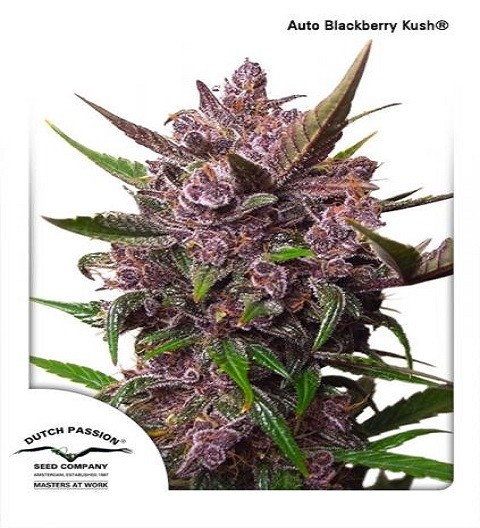 Auto Blackberry Kush by DP Seeds