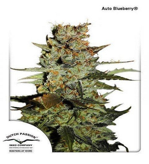 AutoBlueberry by DP Seeds