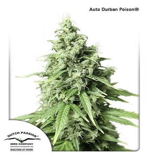 AutoDurban Poison by DP Seeds