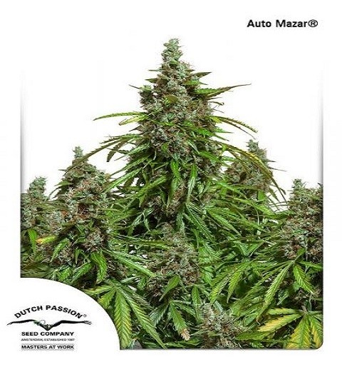 AutoMazar by DP Seeds