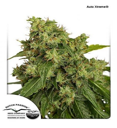 AutoXtreme Automatic by DP Seeds