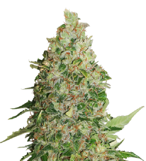 BCN Critical XXL by Seed Stockers