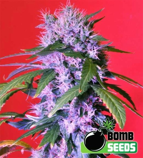 Berry Bomb Regular – Bomb Seeds