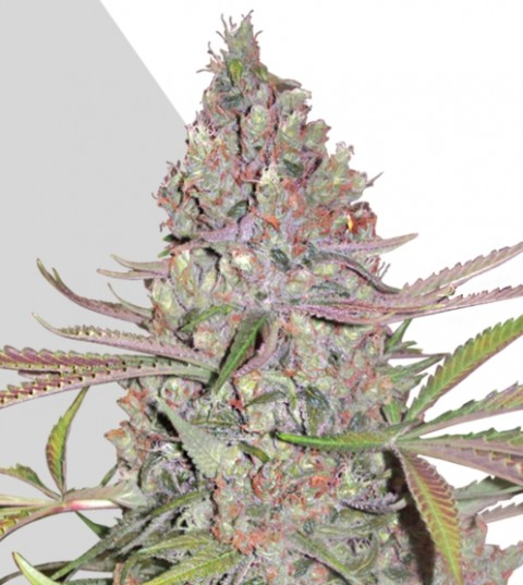 Berry Ryder Marijuana Seeds