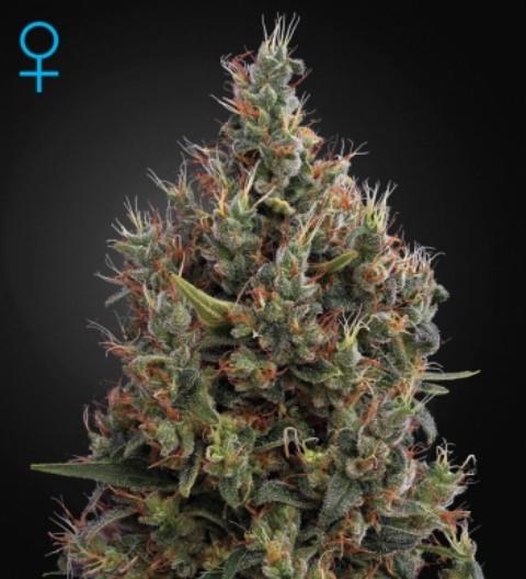 Big Bang Auto Feminized Marijuana Seeds
