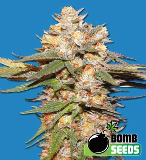 Big Bomb Auto Feminized Marijuana Seeds