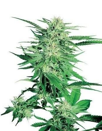 Big Bud Feminized - Sensi Seeds