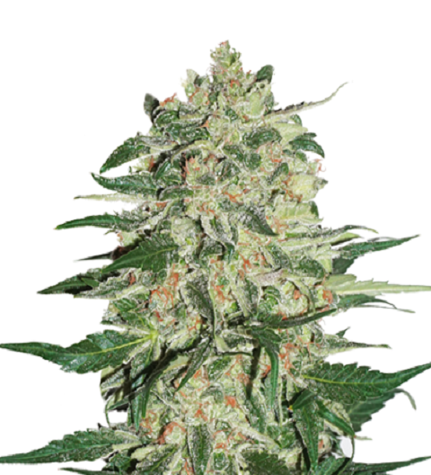 Big Bud by Seed Stockers