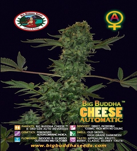 Cheese Automatic by Big Buddha Seeds