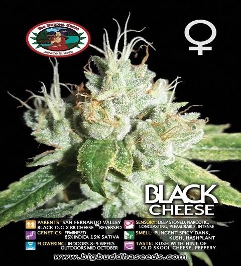 Black Cheese Feminized by Big Buddha Seed