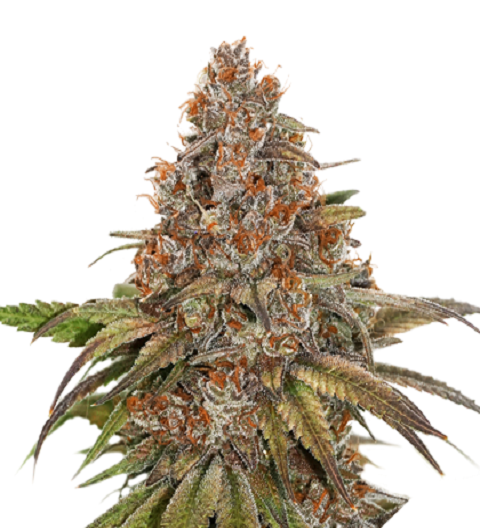 Blackberry Gum Auto by Seed Stockers