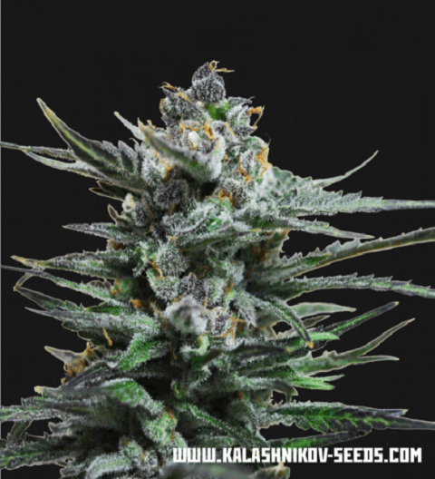 Blue Acid Auto by Kalashnikov Seeds