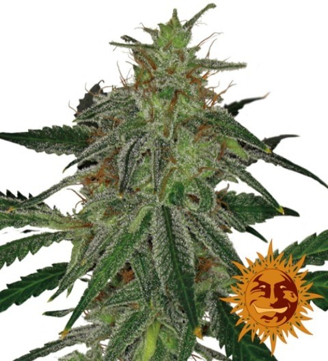 Blue Mammoth Auto Feminized Marijuana Seeds