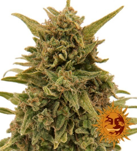 Blueberry OG Feminized – Barney's Farm