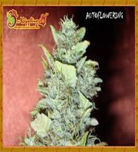 Bubba Gum Feminized by Dr Krippling Seeds