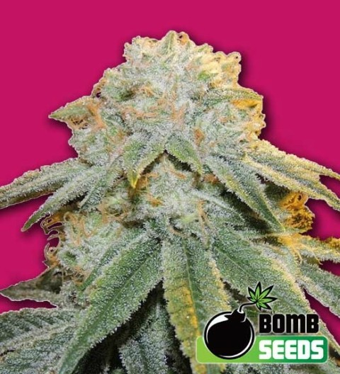 Bubble Bomb Feminized– Bomb Seeds
