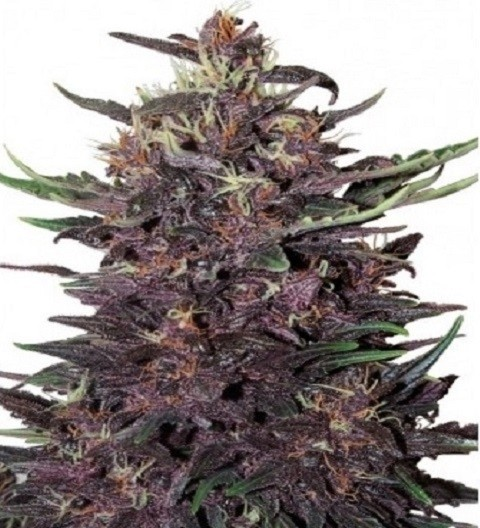 Purple Kush Auto – Buddha Seeds
