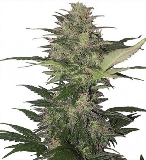 Red Dwarf Auto – Buddha Seeds