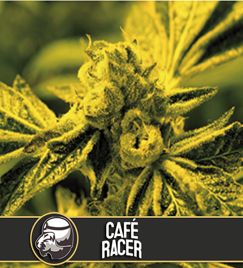 Cafe Racer by Blim Burn Seeds