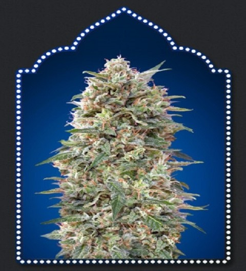 OO Seeds California Kush