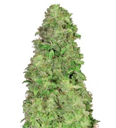 Auto CBD 20:1 by Fast Buds Seeds