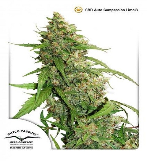 CBD Auto Compassion Lime by DP Seeds
