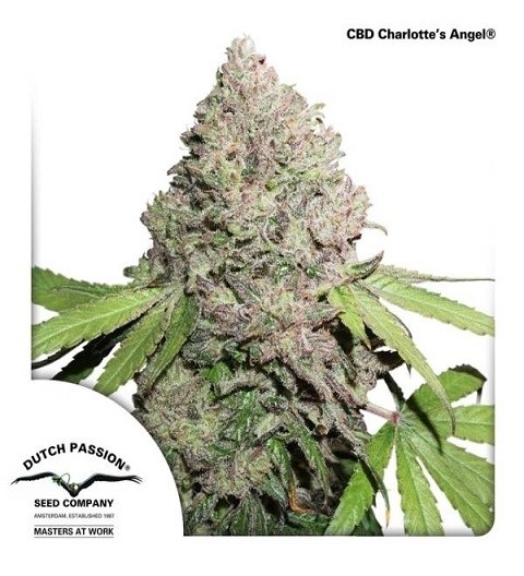 CBD Charlotte's Angel by DP Seeds